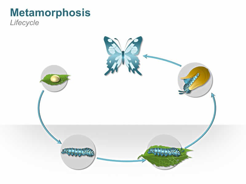 Metamorphosis Butterfly Lifecycle PowerPoint Slide